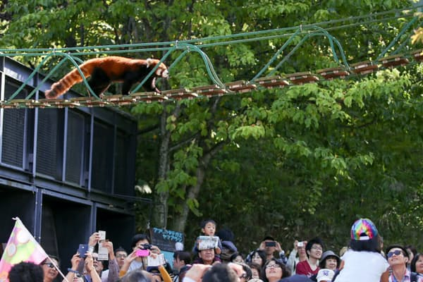 人気のレッサーパンダの吊り橋。渡り出すと歓声が上がる(撮影・桜井省司、提供・株式会社LEGiON)