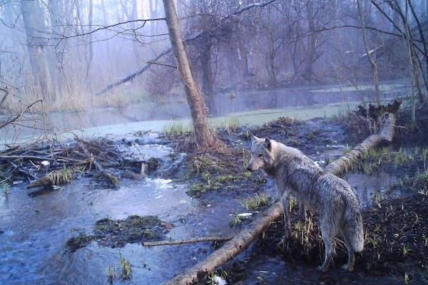 人間の立ち入りが禁止されているチェルノブイリ原発跡付近を歩くヨーロッパハイイロオオカミ。ここにすむオオカミの数は、他の保護区と比べて7倍に増えている。(PHOTOGRAPH BY SERGEY GASHCHAK, CHERNOBYL CENTER)