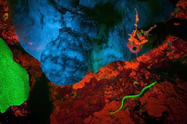 すべてはこの写真から始まった。2011年、デビッド・グルーバー氏がカリブ海の英領リトルケイマン島で撮影した写真に、緑色に蛍光発光するウナギのような魚が写り込んでいた。(PHOTOGRAPH BY JIM HELLEMN)