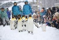 12月19日今シーズン初めてのペンギンの散歩 ペンギンもお客さんも大喜び。