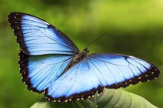 ヘレノールモルフォ(鱗翅目:タテハチョウ科:ジャノメチョウ亜科:モルフォチョウ族) モルフォチョウの仲間は3属42種が中南米で確認されていて、そのうちの9種がコスタリカに生息している。 前翅長:約70 mm 撮影地:シキレス、コスタリカ