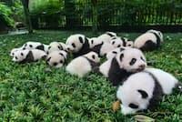 中国、四川省にある碧峰峡パンダ基地の公開イベントで、2015年に誕生したジャイアントパンダの子どもたちが集合。中国パンダ保護研究センターの関連施設で2015年に誕生したパンダの数は26頭で、最多を記録した。(PHOTOGRAPH BY IMAGINECHINA, CORBIS)