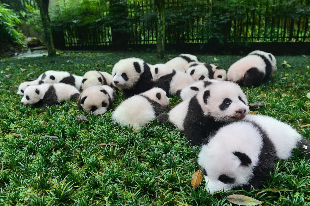 パンダ繁殖、自分で選んだ相手なら出産率が向上|ナショジオ ...