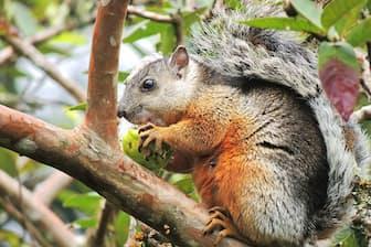 カワリリスのドルサリス亜種(哺乳類:ネズミ目:リス科:リス属) グアバの木の上で実を食べているところ。ぽっちゃりとしていて乳首が見えているので、メスだろう。カワリリスは中央アメリカの固有種。これまでに14亜種が記載されていて、そのうちの7亜種がコスタリカで確認されている。体重は約700グラム。 体長:約30 cm 撮影地:モンテベルデ、コスタリカ