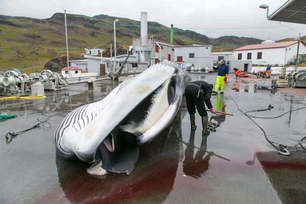アイスランドの捕鯨会社「クバルル」の従業員が、ナガスクジラを解体している。同社は、今夏は絶滅が危惧されるナガスクジラの漁を中止すると発表した。(PHOTOGRAPH BY ARNALDUR HALLDORSSON, BLOOMBERG, GETTY IMAGES)