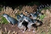 オーストラリア、ビクトリア州で、巣穴に帰るコガタペンギンたち。フェアリー(妖精)ペンギンとも呼ばれている。(PHOTOGRAPH BY TUI DE ROY, MINDEN PICTURES/CORBIS)