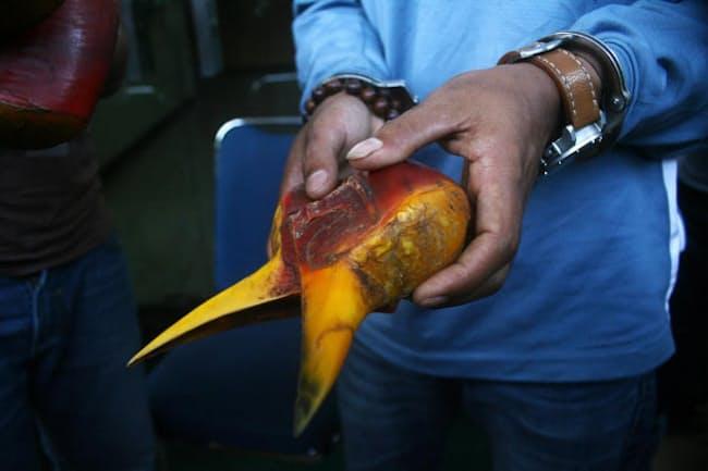 オナガサイチョウのくちばしと、カスクと呼ばれる硬い突起の部分。インドネシアの森林管理官が密猟者から押収したものだ。(PHOTOGRAPH BY JEFTA IMAGES, BARCROFT MEDIA, GETTY IMAGES)