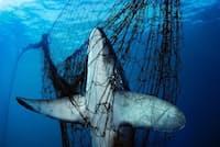 このオナガザメのように、本来漁獲対象でない魚が網にかかってしまうことは、世界中の漁業者にとって頭の痛い問題となっている。(Photograph by Brian Skerry, National Geographic Creative)