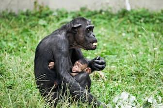 赤ちゃんを抱くフルト(35才) チンパンジーの子育てはいつもつきっきり(撮影・桜井省司、提供:株式会社LEGiON)