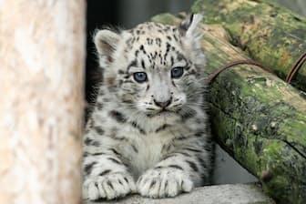 4月19日生まれのユキヒョウの子供(オス)青い目に魅せられます(撮影・桜井省司、提供:株式会社LEGiON)