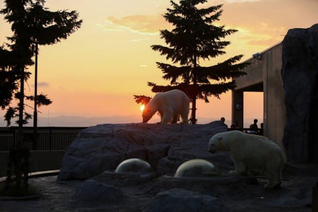 ホッキョクグマたちが夕日の中活発に行動している(撮影・桜井省司、提供:株式会社LEGiON)