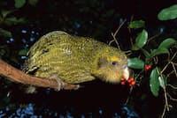 ニュージーランド政府は、絶滅寸前に追い込まれた飛べないオウム、カカポなどの固有種を守るため、外来の捕食動物を一掃するという大胆な計画を発表した。(PHOTOGRAPH BY TUI DE ROY, MINDEN PICTURES)