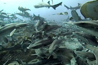 300匹以上のドチザメが集まる
