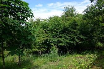 1996年9月の台風17号で壊滅的な打撃を受けたヒノキ林は約20年たち、ホオノキやヒメシャラなどが生い茂る森に変わった