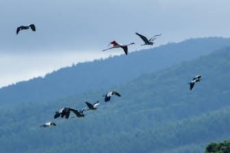 紋別市のコムケ湖上空をアオサギと共に飛ぶ脱走したヨーロッパフラミンゴ(右から3羽目)(桜井省司撮影、提供:株式会社LEGiON)