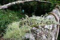 サルオガセツユムシ(バッタ目:キリギリス科:ツユムシ亜科)のオス頭から後翅(こうし)の先まで:約60 mm 撮影地:モンテベルデ、コスタリカ