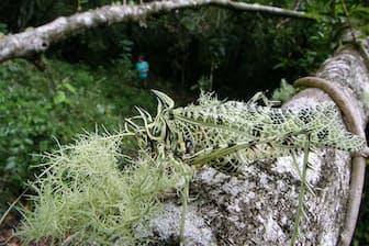 サルオガセツユムシ(バッタ目:キリギリス科:ツユムシ亜科)のオス 頭から後翅(こうし)の先まで:約60 mm 撮影地:モンテベルデ、コスタリカ