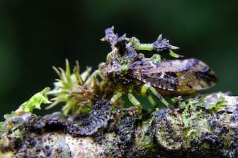 スメルダレア・ホレセンス(カメムシ目:ツノゼミ科:Stegaspidinae亜科) コケに擬態したツノゼミを横から見たところ。ツノゼミの中では比較的大きめ。 体長:約10 mm 撮影地:サラピキ地方、コスタリカ