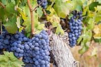 赤ワインは黒ブドウを原料に、果皮や種子ごと発酵させる。写真は代表的な黒ブドウ品種「カベルネ・ソーヴィニヨン」((C)Magdalena Paluchowska -123rf)