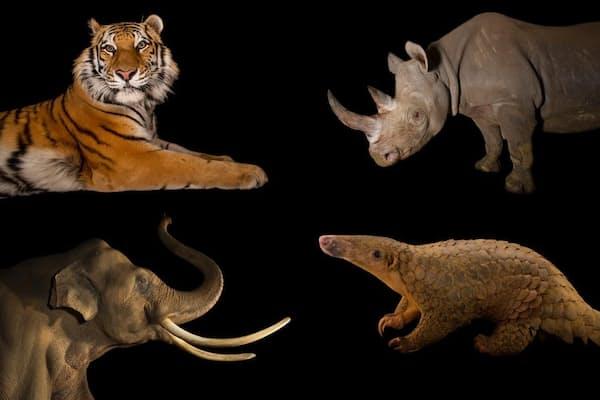ヨハネスブルクで開催されたワシントン条約締約国会議により、トラ、サイ、ゾウ、センザンコウは従来よりも手厚い保護が決まったが、一部の種については、野生生物保護の規制が政治によって骨抜きにされてしまったという懸念も出ている。(PHOTOGRAPHS BY JOEL SARTORE, NATIONAL GEOGRAPHIC)