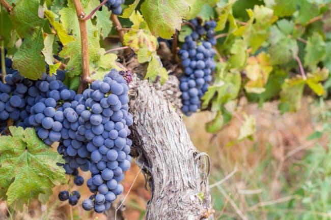 世界で幅広く栽培されている「カベルネ・ソーヴィニヨン」(Cabernet Sauvignon)。ポリフェノールの含有量が多い(c)Magdalena Paluchowska -123rf)