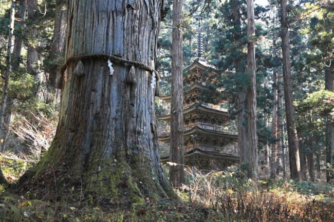 羽黒山山頂の出羽神社に向かう参道を上ると見えてくる「爺杉」と国宝「五重塔」(写真:PIXTA)