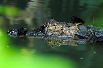 メガネカイマン(ワニ目:アリゲーター科:カイマン亜科)の頭部の望遠のアップ。下アゴの白い2本の前歯が、上アゴに開いた穴から飛び出している