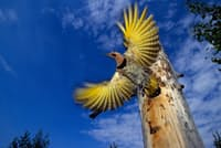 巣から飛び立とうとしている通常の色合いのキハシボソキツツキ(PHOTOGRAPH BY MICHAEL S. QUINTON, NATIONAL GEOGRAPHIC CREATIVE)