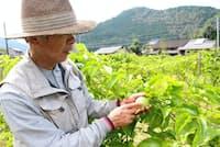 岐阜県関市で南米原産のパッションフルーツを栽培する古池さん