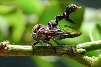 ヘテロノトゥス・トゥリノドスス(カメムシ目:ツノゼミ科:Heteronotinae亜科) 真横から見たところ。これは、メス。 体長:約10 mm 撮影地:サラピキ地方、コスタリカ