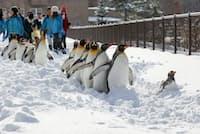 早い積雪により11月17日にはペンギンの散歩が行われました。お客さんは大喜び(桜井省司撮影、提供:株式会社LEGION)