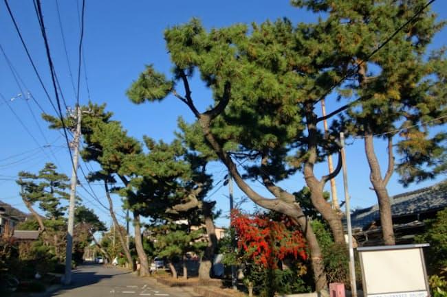 旧道の松並木は旅情をかき立てる(大磯町)