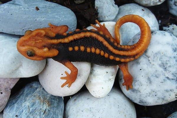 タイ北東部に生息する「Tylototriton anguliceps」。通称クリンゴン・イモリ。頭部の形が特徴的で、スター・トレックに登場するクリンゴン人に似ていることからその名が付いた。(PHOTOGRAPH BY PORRAWEE POMCHOTE)