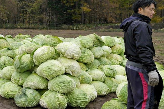最大20キロにもなる札幌大球の収穫は重労働だ(札幌市)