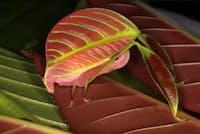 木の葉にそっくりな新種キリギリスのメス。ボルネオ島に生息。(PHOTOGRAPH BY PETER KIRK)