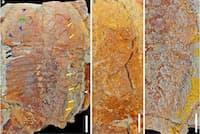 三葉虫の1種、メギスタスピス・ハモンディの化石。モロッコのフェゾウアタ累層から見つかった。(PHOTOGRAPH COURTESY MOROCCAN ANTI-ATLAS)