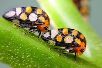 アディペ・ゼブリナ(カメムシ目:ツノゼミ科:Smilinae亜科) 黒地に水玉模様が「はじける」ツノゼミ。色もオレンジやシルバーっぽい白と、ポップで鮮やかだ。 体長:約5 mm 撮影地:モンテベルデ、コスタリカ
