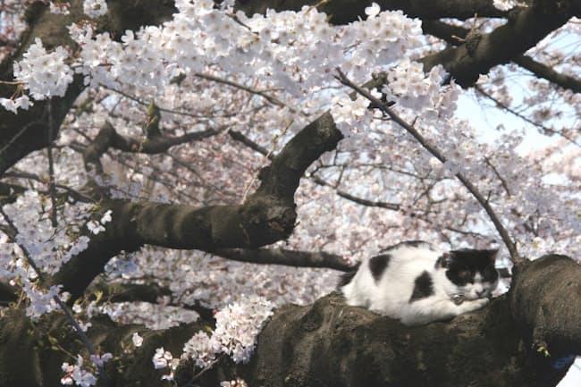 満開の上野恩賜公園で。猫ものんびり(写真:japan-guide.com)
