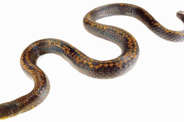エクアドルから発表された新種のヘビ3種の1つ、Atractus pyroni。新種を報告する論文に使われた正基準標本だ。 (Photograph courtesy Alejandro Arteaga)