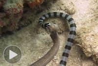 アオマダラウミヘビ。猛毒をもち、毒性の強さはガラガラヘビの10倍に達する。