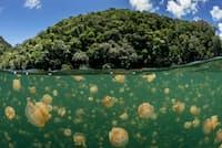 無数のクラゲが生息するパラオ最大の観光地、ジェリーフィッシュレイク。ナショナル ジオグラフィックの「原始の海プロジェクト」チームが調査した。(PHOTOGRAPH BY ENRIC SALA, NATIONAL GEOGRAPHIC CREATIVE)