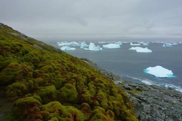 南極グリーン島のコケに覆われた海岸と、沖に点々と浮かぶ氷山。(PHOTOGRAPH BY MATT AMESBURY)