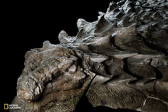 約1億1000万年前、この恐竜は氾濫した川にのみ込まれ、海まで流されて、堆積物に埋もれた。鎧(よろい)のように体を覆った装甲は細部まで美しく保存され、頭部にはタイル状の骨や化石化した皮膚が残る。(Robert Clark/National Geographic)
