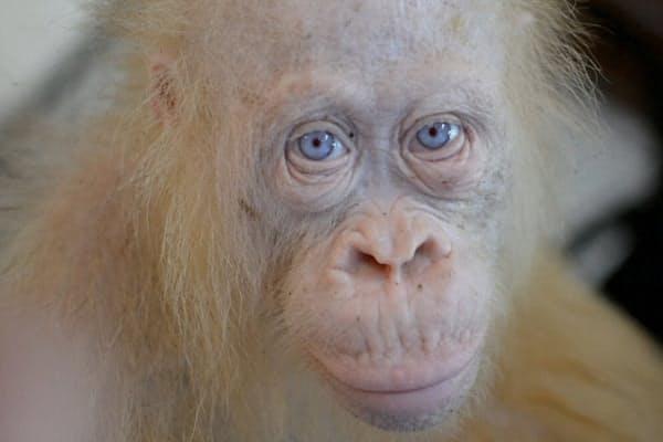 インドネシア、ボルネオ島で見つかった珍しいアルビノのオランウータン(AFP TV)
