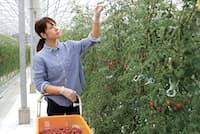 三浦綾佳さんは茨城県水戸市でフルーツトマトを育てている
