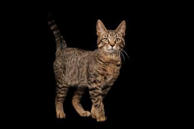 古代のネコの遺伝子を分析したところ、ぶち模様のネコは中世になるまでは存在しなかったことがわかった。(PHOTOGRAPH BY JOEL SARTORE, NATIONAL GEOGRAPHIC PHOTO ARK)