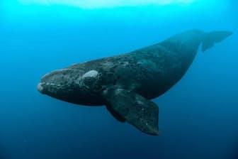 ニュージーランド、オークランド諸島(亜南極諸島)のミナミセミクジラ(Eubalaena australis)。(PHOTOGRAPH BY BRIAN J. SKERRY, NATIONAL GEOGRAPHIC CREATIVE)