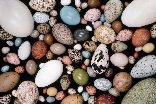 さまざまな鳥の卵。大きさも形もばらつきが大きい。(PHOTOGRAPH BY FRANS LANTING, NATIONAL GEOGRAPHIC CREATIVE)