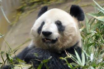 ジャイアントパンダのシンシン(東京都台東区の上野動物園)