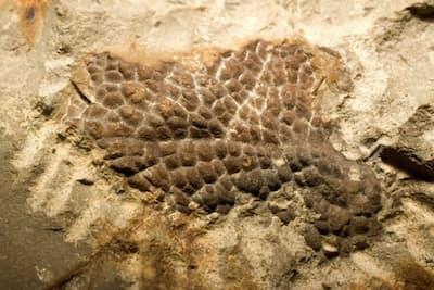 ティラノサウルス・レックス(Tレックス)の首の皮膚の化石。(PHOTOGRAPH COURTESY OF PETER LARSON)